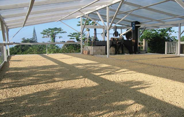 sun drying of the parchment coffee in Kona